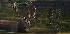 I can see you! Don't come closer! (pe_ha45) Tags: rothirsch cervuselaphus ciervocomn cerflaphe veadovermelho reddeer edelhert cervonobile brunft