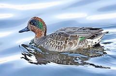 Teal (Pam P Photos) Tags: duck teal rspblodmoordorset