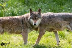 Ohne Worte / Without words:-) (Saarblitz) Tags: withoutwords wolf europäischer grauwolf wildlife natur wolfsgehege outdoor porträt liht farben ngc