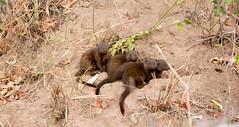Mongooses (amanda & allan) Tags: krugernationalpark southafrica mongooses mongoose