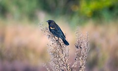 Red-winged blackbird (Black Hound) Tags: sony minolta bird bombayhooknwr redwingedblackbird a500