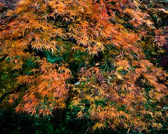 Sign of the Cross (Photoz Darkly) Tags: tree maple japanesemaple cross signofthecross trunk leaves fall autumn orange yellow