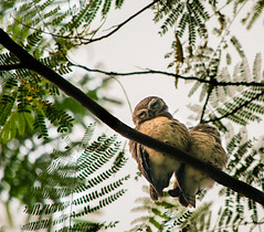 ||  ,    ?? || (NahidHasan95) Tags: wildlife wildbird winter lastlight green nature bangladesh eyes romance owl outdoor animal