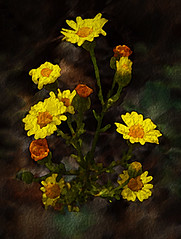 Daisy Bouquet (FotoGrazio) Tags: freetodownload hole whiteflower blossom photographersinsandiego fotograzio center digitalphotography nature fineart worldphotographer phototopainting plant contrast macro yellowflowers waynegrazio phototoart photography photographicart photographersincalifornia botanical petal daisies delicate painterly freeimage autumn downloadforfree waynesgrazio artofphotography art serene freepicture photoshoot capture lovely daisy fivesided botany explore texture garden mothernature whitebackground soft closeup beautiful sandiegophotographer californiaphotographer internationalphotographers 500px composition petals flickr five flower