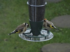 I love Goldfinches! (defblow) Tags: goldfinch finch niger bird feeder seed colorful wild garden bbc summerwatch outdoors day morning springwatch