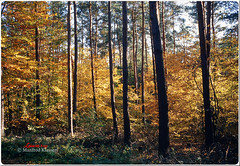 Herbstwald  (M.A.K.photo) Tags: herbstwald wald herbst autumn herfstbos autumnforest forest natur nature lowerfranconia bavaria germany deutschlamd bayern leica leitzleica summicron summicron2035mm ektachrome ektachromee100vs analog analogphoto analogfoto slide slidefilm film diapositiv outdoor kodak kodakfilm