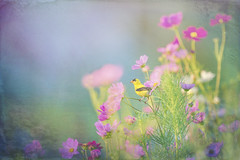 Goldfinch in a Garden (TopazLabs) Tags: americangoldfinch birds blue ingstanfarms sparrowsandfinches black blak bright colorful early flower flowers garden green morning perched pink purple red sunny yellow hammonton newjersey unitedstates us