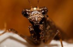 Praying mantis (Arvind_S) Tags: nature macro mantis praying bugs ngc