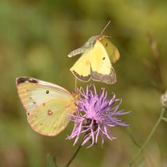 069 Clouded Sulphurs _5768 ( Colias philodice ) (agawa2yukon) Tags: ontario algoma pieridae coliadinae butterfly butterflies mating copula lepidoptera