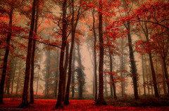 forest mood! (pat.thom974) Tags: forest fog trees red