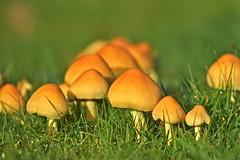 Autumn Gold (Deepgreen2009) Tags: autumn gold glow mushrooms fungus fruitingbodies ground garden mellow damp grass