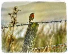The robin  (Anne Young2014) Tags: friendly scotland kilmacolm countryside bird redbreast robin