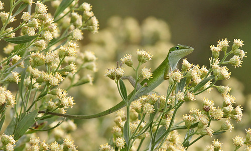 Green Anole (Anolis carolinensis) on Groundsel Tree (Baccharis halimifolia)