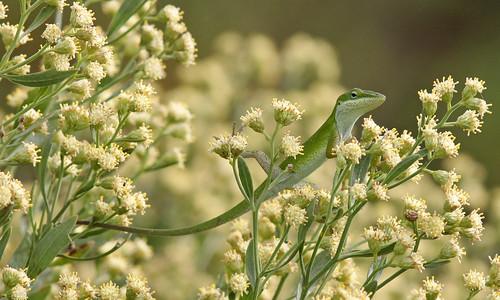 Green Anole (Anolis carolinensis) on Groundsel Tree (Baccharis halimifolia)