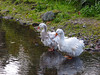 Bad Haircuts (Steve Taylor (Photography)) Tags: sebastopol geese badhairday feathers paddling bird goose green grey white sad water river stream rock stone newzealand nz southisland canterbury christchurch willowbank wildlifereserve moss reflection ripple