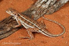 Mallee Military Dragon (Ctenophorus fordi) (Jules Farquhar.) Tags: malleemilitarydragon ctenophorusfordi mallee aridreptile australianreptiles lizard reptile squamata sand nanyastation nsw agamidae agamid julesfarquhar dragon
