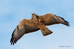 Swainson's Hawk (sunnyf16) Tags: swainsonshawk swainsons hawk raptor birdofprey bird hun soar robertvisconti sunnyf16 followmeontwittercloserlookwldlf flickr prairie grassland nikon nikonprime naturephotography nature northamerica