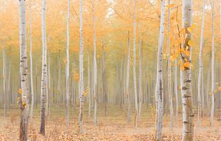 Autumn Pastel (Boardman Tree Farm, Oregon)