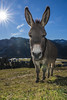 16J_8023 (J. Gschwender) Tags: esel donkey balderschwang allgäu bayern gschwender nikon