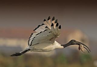 African Sacred Ibis: Threskiornis aethiopicus (Explored)