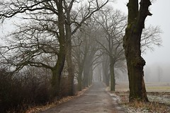 paths and roads (JoannaRB2009) Tags: path road alley avenue winter autumn fall mist fog misty foggy tree trees oak oaks field landscape view nature dolnyśląsk milicz dolinabaryczy polska poland frost frosty