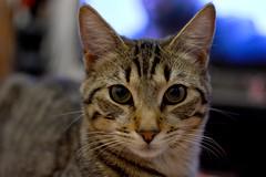 Goliat Galn (karlos_radikal) Tags: gatos mascotas felinos domestico animales