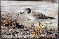 Yellowlegs... I think lesser? but it is greater (RKop) Tags: a77mk2 70400gssmsony caladesiislandstatepark florida raphaelkopanphotography handheld sony