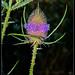 Dipsacus fullonum (Cardo dei lanaioli / teasel)