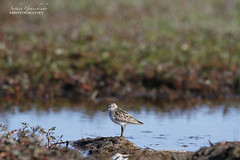 Semipalmated Sandpiper along the shore (Blue Tale) Tags: sandpiper bird semipalmated beach pusilla calidris beautiful sea shore isolated nature animal ocean dark small wild wildlife wing feather arcticbay nunavut north northern canada tundra arctic polar
