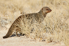 Banded mongoose in long grass (thewildlifephotographer) Tags: mongoose