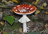 veiled fly agaric (GE fotography) Tags: 7311 fly agaric amanitas amanita fairy toadstool scarlet white spots spotted frill frilled autumn october kent uk sevenoaks bradbourne