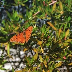 Butterfly resting. #bahiahonda #floridakeys #overseashighway #florida #miami #usa