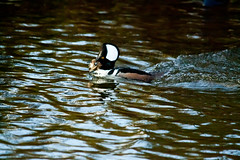 Fish for Lunch 4 (LongInt57) Tags: hooded merganser bird duck water pond fish food feeding eating hunting fishing swimming floating reflecting reflection white black blue green brown nature wildlife kelowna bc canada okanagan