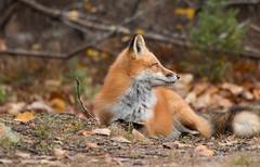 Red Fox (NicoleW0000) Tags: ontario wild wildlife photography red fox animal predator carnivore