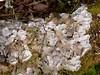 Peltigera membranacea (aburgh) Tags: macrolichens lichen peltigera isleofman terricolous foliose
