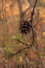Single Cone (Back Road Photography (Kevin W. Jerrell)) Tags: pines pinecones hiking backroadphotography nikond60 nature naturesbeauty fall autumn