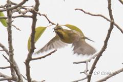 Sunbird D75_4266 (Purple_man) Tags: singapore bird 2016 olivebacked sunbird