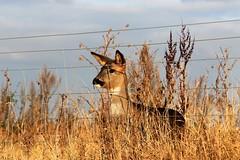 Deer at Barton Upon Humber (markalfa83) Tags: deer barton upon humber canoneos7dmarkii ef70200mm f4l lens