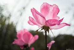 秋バラ / autumn rose (March Hare1145) Tags: flower 花 plant バラ 薔薇 rose 植物