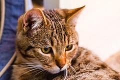 Bubu (Raoul Pop) Tags: tomcat bubu portrait whiskers winter pet body ears eyes home face nose tabby attentive animal medias transilvania romania ro