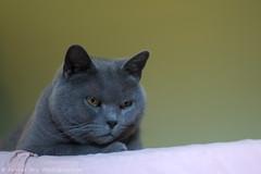_DSC5145_v1 (Pascal Rey Photographies) Tags: cat chat chatte katze gato digikam digikamusers linux opensource freesoftware ubuntu animalerie animaux animals