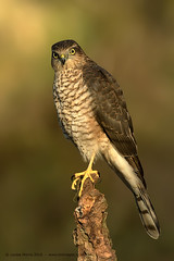 Sparrowhawk - Juvenile (Louise Morris (looloobey)) Tags: am0a8417 sparrowhawk juvenile wild newkidontheblock scottishphotographyhides scotland hide perched light warmth nigel alan scott mattdecember2016