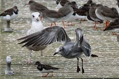 Laughing Gull Takeoff (Roy Lowry) Tags: leucophaeusatricilla laughinggull newbrighton