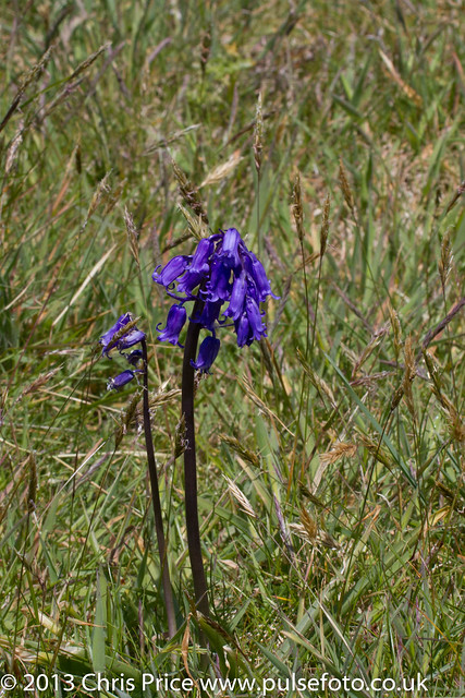 Bluebells at Marloes Peninsular