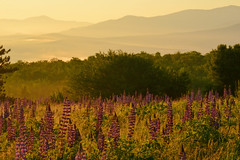 Misty Lupines (KAM918) Tags: new morning light mist field weather festival fog sunrise golden nikon sampler hill nh hampshire sugar wildflowers lupine lupines d3100