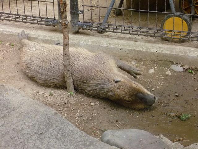 カピバラさん・・・|須坂市動物園