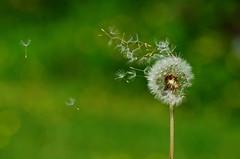 Make a Wish (jonshort58) Tags: dreaming dandelion seeds makeawish nikkor1685 nikond7000
