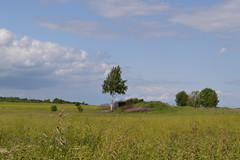 pskov (Olga Sytykh) Tags: summer tree nature beauty field grass happy russia july serenity grasses birch  albero maly pskov  pskovrussia          betulla     2013   freephotos     nikond3100  jul