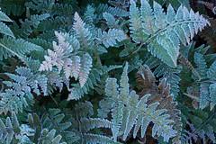 Frosty Ferns (MarkMeredith) Tags: newzealand frost nz vegetation ferns natives canonef100mmf28macro