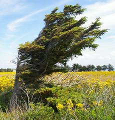 Windschiefe Fichte (greenoid) Tags: wind feld baum fichte